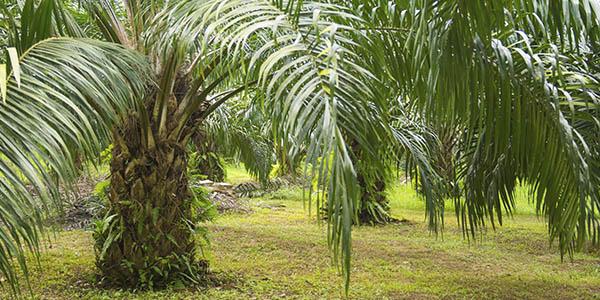 Efecto de las aplicaciones del nutricorrectivo mejicorrectio en el cultivo de la palma adulta
