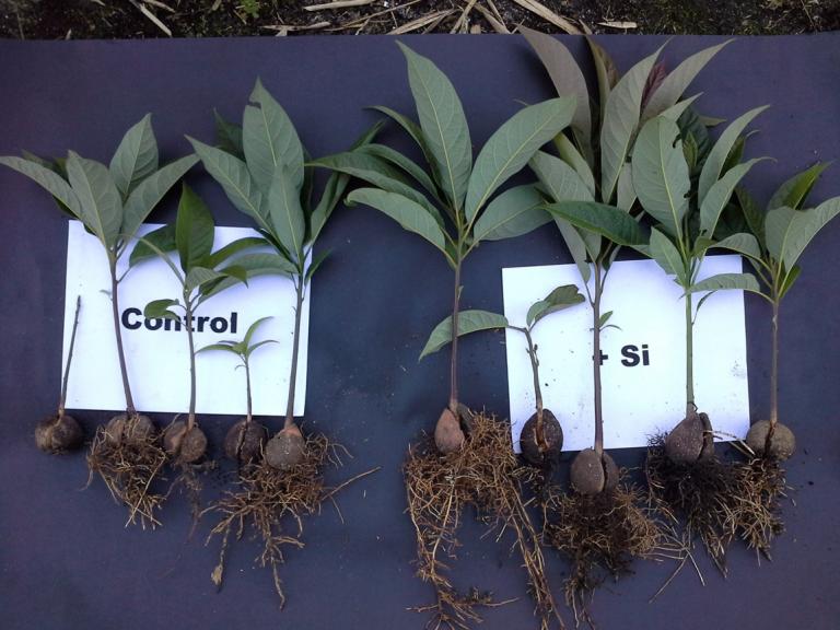 Efecto del fertilizante SiliMagnum Sulfasil®, en el desarrollo de plántulas de aguacate nativo