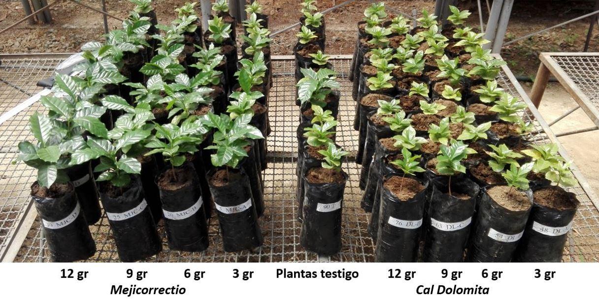 Mejicorrectio en Almácigo de Café – Agrosilicium