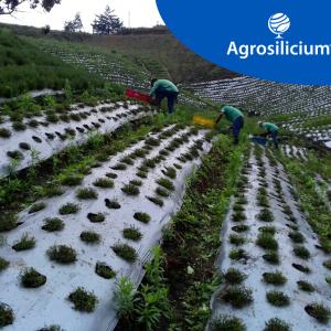 Evaluación de diferentes dosis de SiliMagnum DP (antes Magnesil®) en el desarrollo vegetativo y productividad del cultivo de Tomillo (Thymus vulgaris)