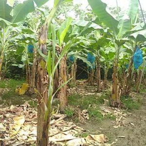 Corrección de la acidez del suelo a partir de acondicionadores con silicio (Si) en banano Cavendish (Musa AAA)